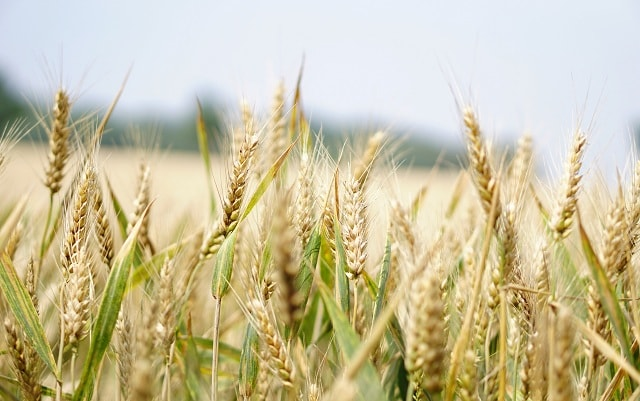 Wheat Crop Cultivation