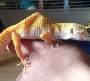 Keeping Lizards as Pets